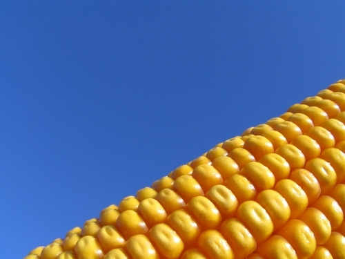 genetically modified corn cause infertility